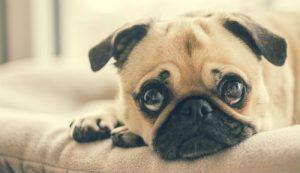 huisdier overlijden uitvaartverzekering